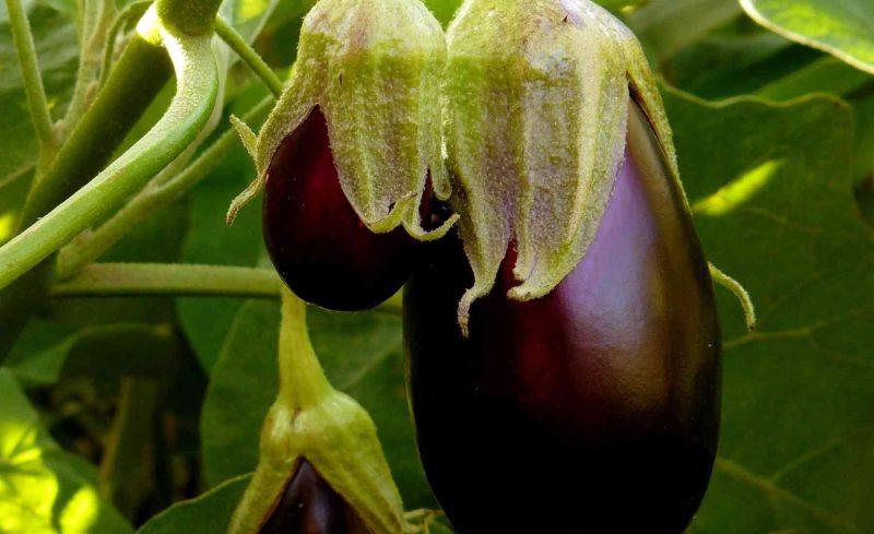 Spotting Ripe Eggplant